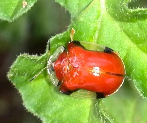 Image of <i>Charidotella</i> (<i>Chaerocassis</i>) <i>emarginata</i> (Boheman 1855)