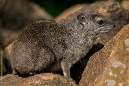 Image of Yellow-spotted Rock Hyrax