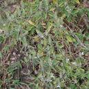 Image of <i>Tetramerium nervosum</i>