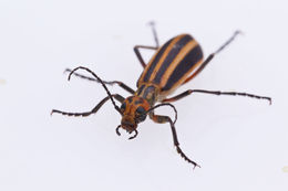 Image of Striped Blister Beetle