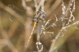 Image of Straw-colored Sylph