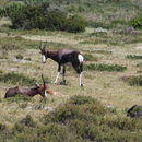 Image of Bontebok