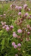 Image of <i>Cirsium arvense</i>