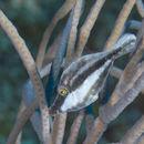 Image of slender filefish