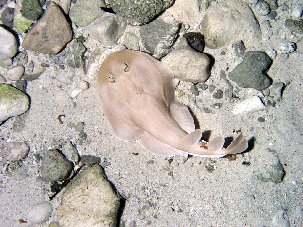 Image of Lesser electric ray