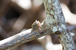 Image of Mangrove Tree Crab