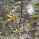 Image of <i>Acacia pinetorum</i>