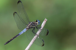 Image of Gray-waisted Skimmer