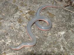 Image of Western Worm Snake