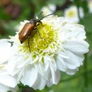 Image of fairy-ring longhorn beetle