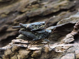 Image of Mexican Pygmy Grasshopper