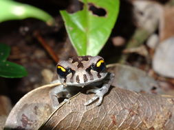 Image of Spotted Litter Frog