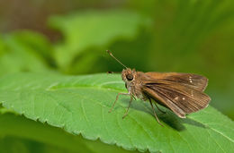 Image of Neamathla Skipper