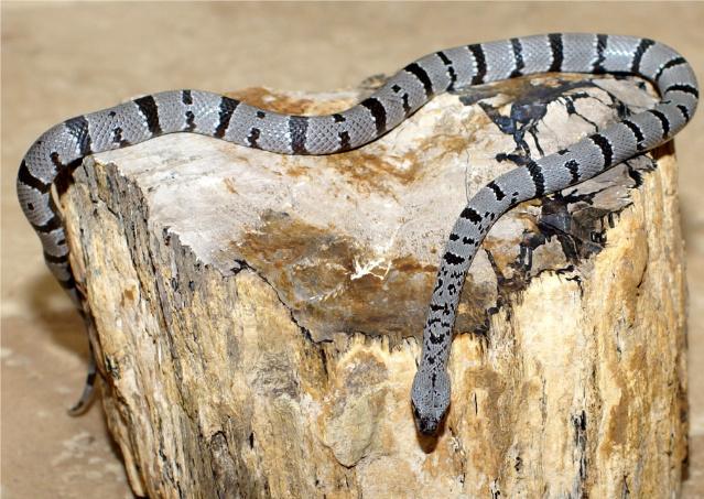 Image of Gray-banded kingsnake