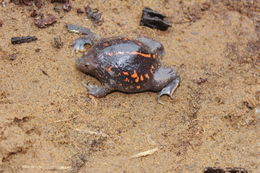 Image of Burrowing Toad