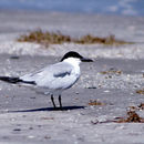 Image of Gull-billed tern