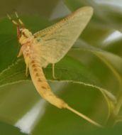 Image of Hexagenia Mayfly