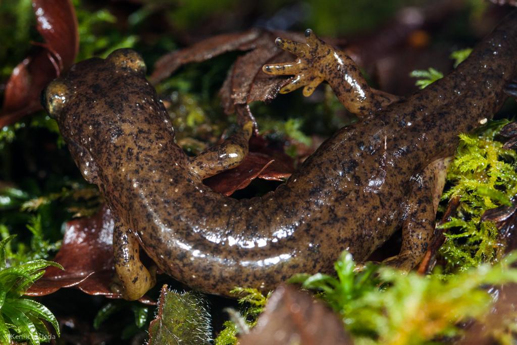 Image of Southern Torrent Salamander