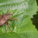 Image of Spined Stink Bug