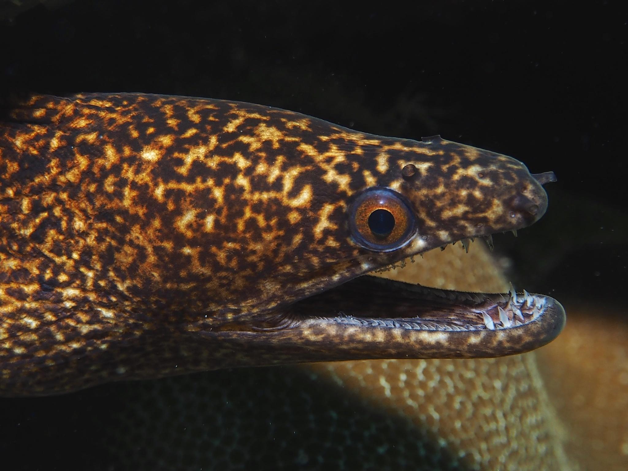 Image of <i>Gymnothorax eurostus</i> (Abbott 1860)