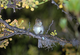Image of Pileated Flycatcher
