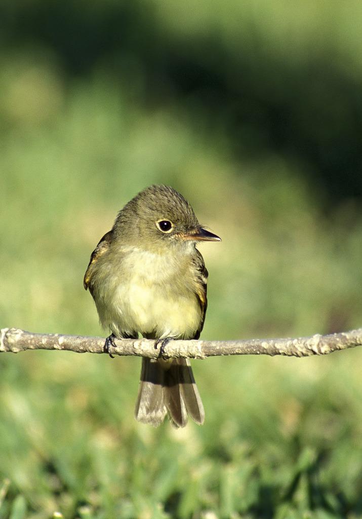 Image of Acadian flycatcher