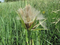 Image of <i>Tragopogon pratensis</i>