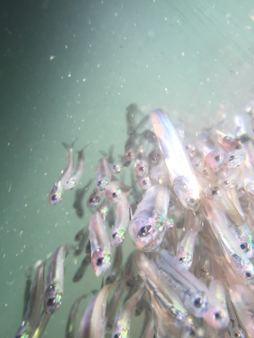 Image of Pacific anchovy