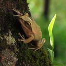 Image of Dumeril's Bright-eyed Frog