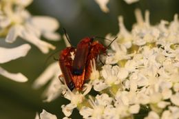 Image of Red Soldier Beetle
