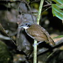 Image of Bicolored Antbird