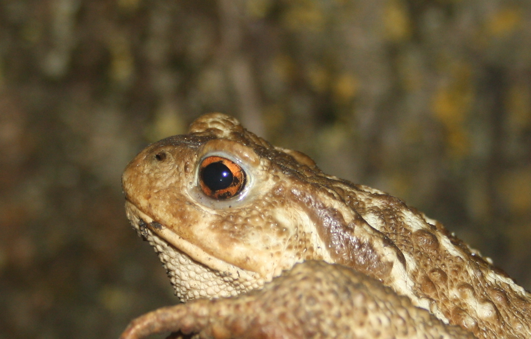 Image of Spiny Common Toad