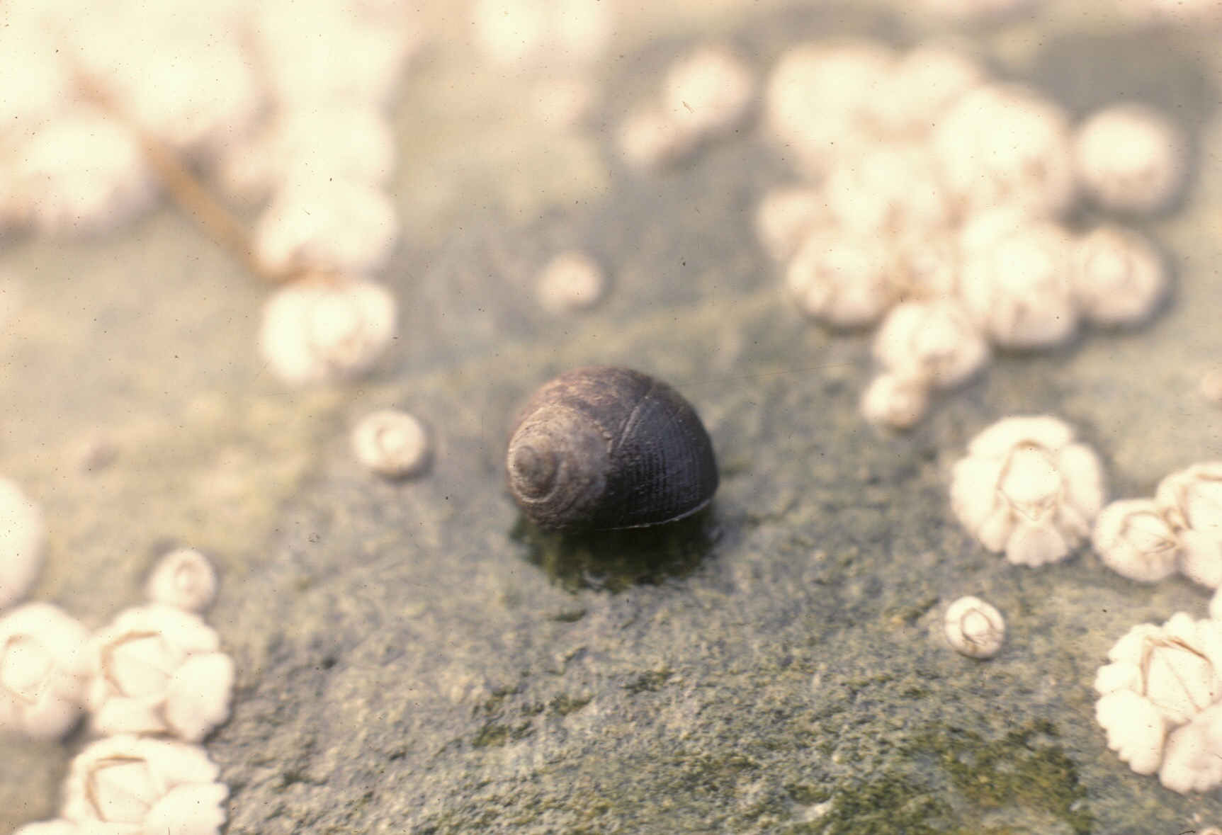 Image of Edible periwinkle