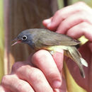 Image of Connecticut Warbler