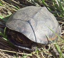 Image of Okavango Mud Turtle