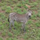 Image of Crawshay's zebra