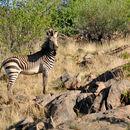Image of <i>Equus zebra hartmannae</i>