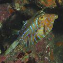 Image of Shorthorn cowfish