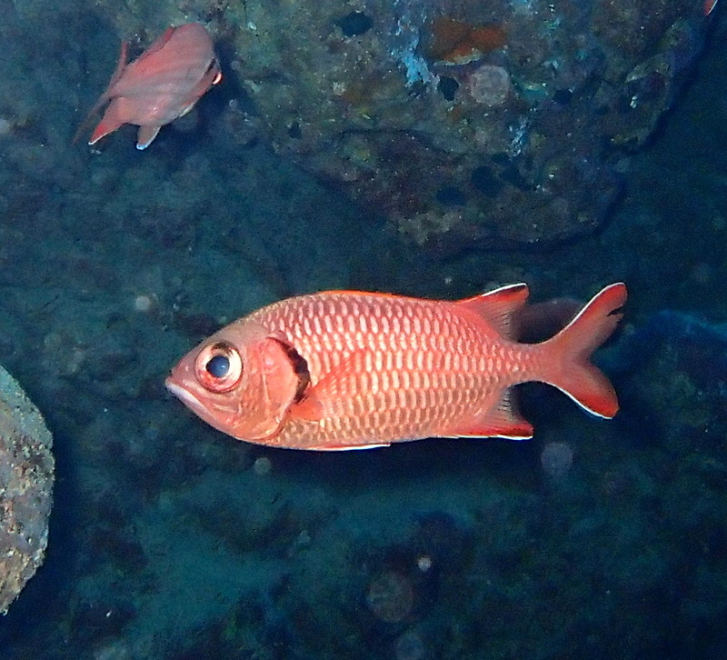 Image of Bigscale Soldierfish