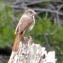 Image of Fox Sparrow