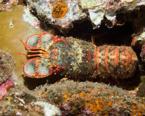 Image of King's Hawaiian lobster