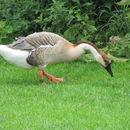 Image of Swan Goose