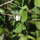Image of <i>Lieinix nemesis</i> ssp. <i>atthis</i>