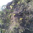 Image of <i>Pseudalcantarea grandis</i> (Schltdl.) Pinzón & Barfuss