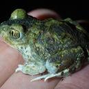 Image of Western Spadefoot Toad