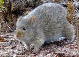 Image of Arizona cotton rat