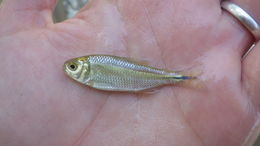 Image of Mexican tetra or blind cavefish