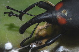 Image of <i>Cactophagus spinolae</i>