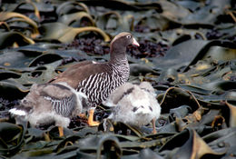 Image of Kelp goose
