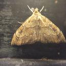 Image of <i>Scybalistodes periculosalis</i> Dyar 1908